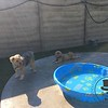 Benji and Wookie hangin' out poolside!