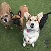 Archie, Koa and Rosie competing for treats!
