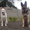 Bear and Ruger, GSD buddies