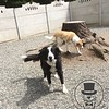 Sumo and Chase love playing out in the courtyard!