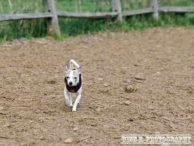 Mickey Moscato. Chihuahua and Italian Greyhound Mix.