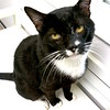 Herb is a friendly 3-year-old black & white shorthair.  He will come out to greet you and loves pets!  Herb tested positive for FIV.  When kept indoors, an FIV-positive kitty can live a long, happy life like any other feline.  Our staff would be happy to speak with you about FIV and Fluffy's long-term care.<br /> <br /> Meet Herb today at Seattle Humane! <br /> <br /> As with all of our cats, Herb has been neutered, microchipped, vaccinated and behavior tested.  He will go home with a certificate for an examination by a King County veterinarian and an identification tag.  PLUS, most cat adoptions include 30 days of pet insurance from Trupanion – a great way to start