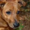 3.Buddy_Beagle.Dachs.mix_8.11.15