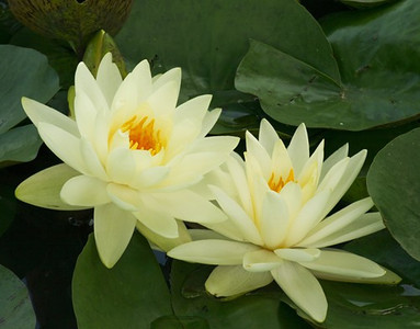 White water lillies