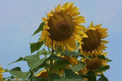 Pastel sunflowers