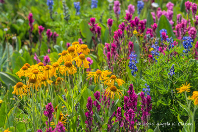 Wildflowers, Grand Mesa, Colorado