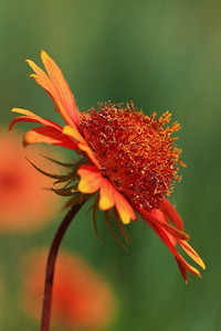 Indian blanket flower, Gyp Hills, southern Kansas