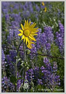 Nodding sunflower,  lupine, Crested Butte, Colorado