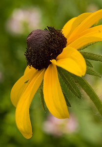 Black eyed susan, near Alma, Kansas