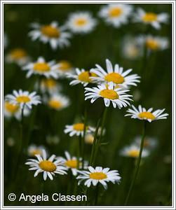Oxeye daisies, near Alma, Kansas