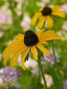 Black eyed susans, near Topeka, Kansas