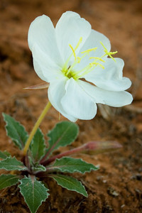 Evening primrose, Arches National Park, Utah