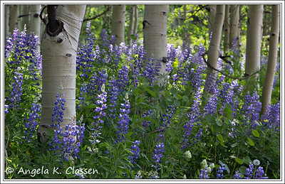 Lupines, Kebler Pass, Colorado