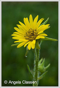 Compass plant, Wabaunsee Co., KS
