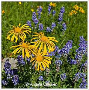 Sneezeweed and lupine, Grand Mesa, CO
