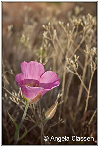 Pink sego lilly, near Fruita, Colorado