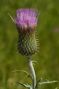 Common thistle, near Alma, Kansas