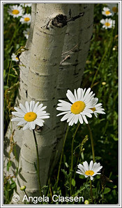 Oxeye daisies, near Molass Pass, CO