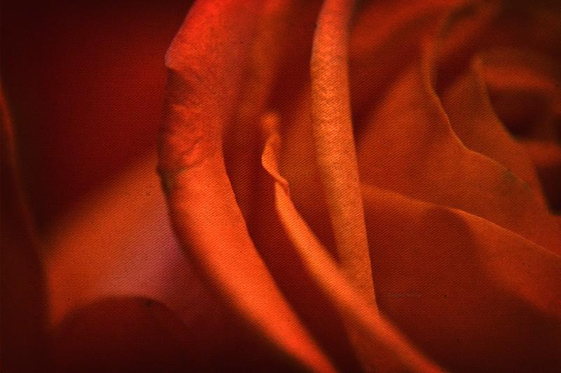 DSC_7839 red роза 1 6 w wm