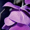 Pink&Purple Orchid 1 5 w wm