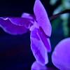 Blue Purple Orchid 1 2 wwm