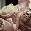 Rose 4 MR w wm