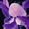 Purple Orchid 1 5