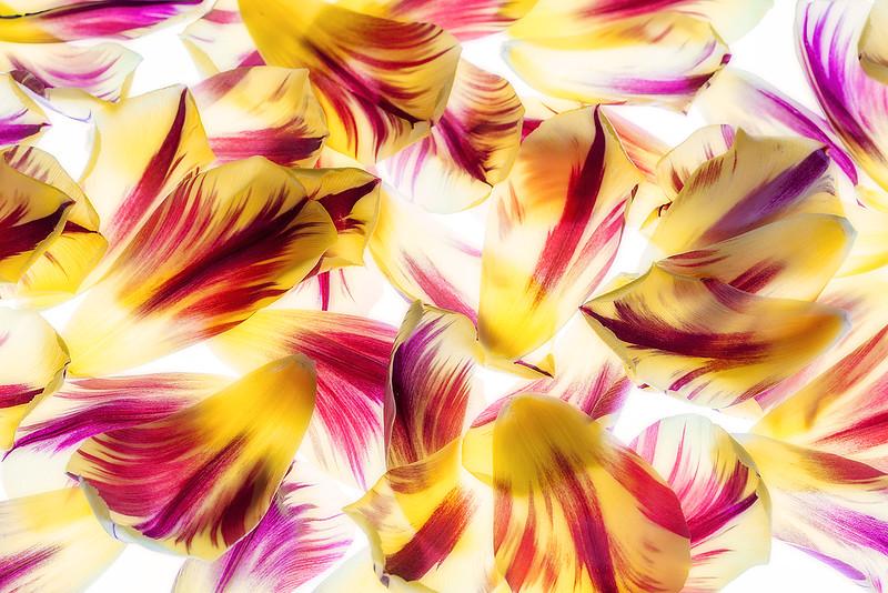 flame tulip petals