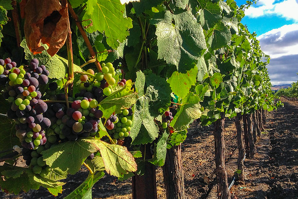 Wine grapes at the Enriquez Estate