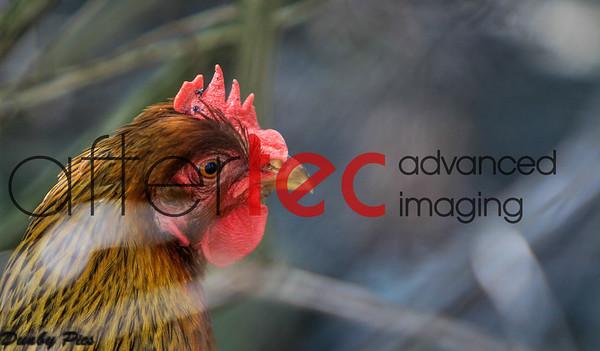 Petaluma Chickens