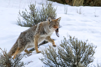 Coyote in Mid-step with Snack-Yellowstone