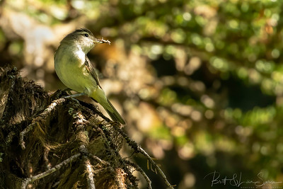 Warbling Vireo in Dappled Light with Bugs
