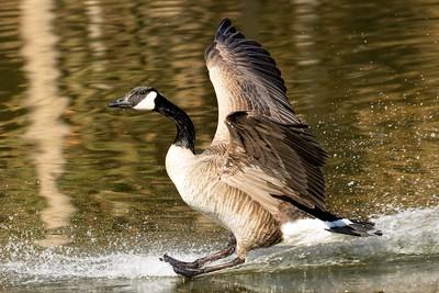 Canada Goose Landing #2