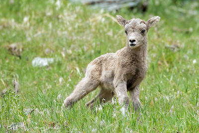 Bighorn Lamb Portrait (in the grass)