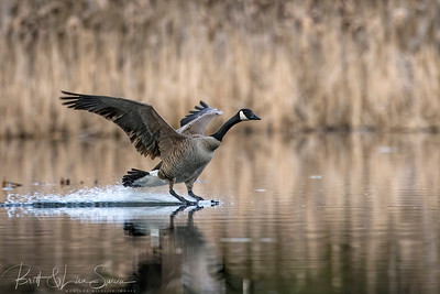 Touch Down-Canada Goose