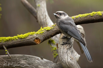 Canada Jay (formerly Gray Jay 2018)
