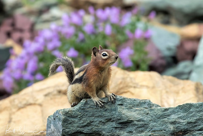 Golden-mantled Ground Squirrel and Flowers