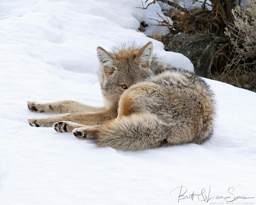 Resting and Watching-Coyote