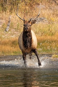 Running Elk-Madison River-Yellowstone