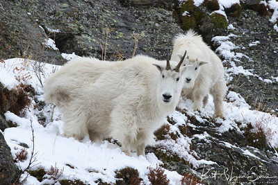 """Mountain Goats on Alert""-Nanny and Kid"