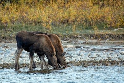Two Young Moose Drinking