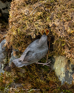 American Dipper Feeds Young in the Nest