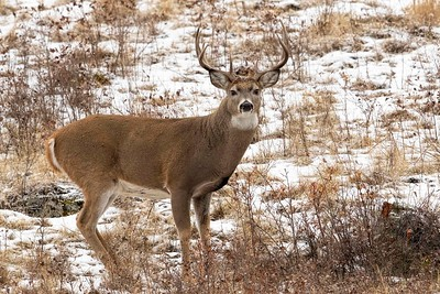 White-tailed Buck Portrait