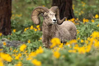 Bighorn Ram in the Spring