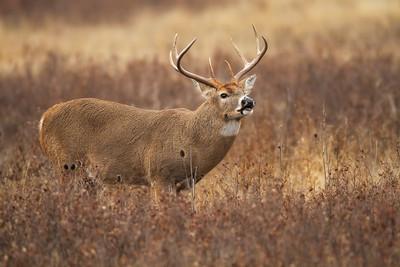 White-tailed Buck Flehmen Response