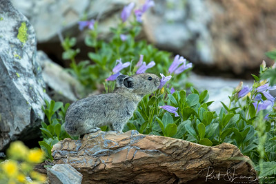 Pika in a Flowered Environment