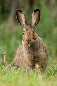 Snowshoe Hare with Dandelion