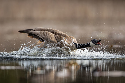 Angry Landing-Canada Goose