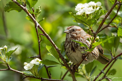 Song Sparrow and Hawthorn Blossoms