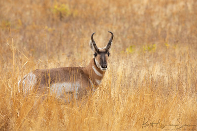 """A Field of Gold""-Pronghorn Buck"